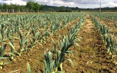 Aglione, dall'estinzione all'agricoltura 4.0